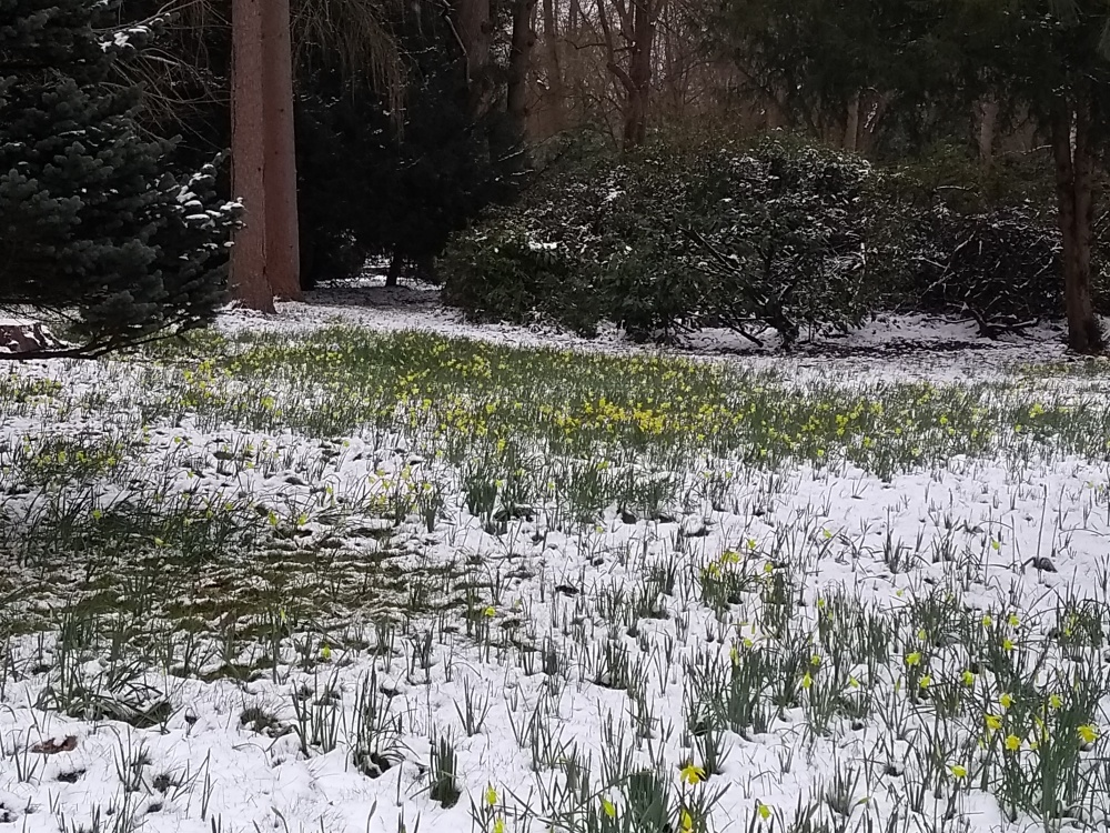 Miniature daffodils peeking through the snow at Stubbings